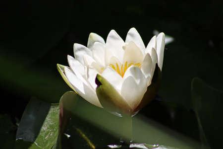 lily pads: Lily Pads 1