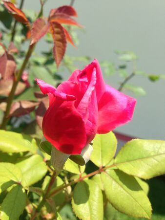 A blooming rose bud  Stock Photo