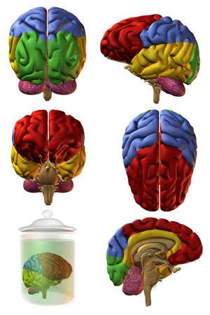 3d human: Cerebro humano en 3D
