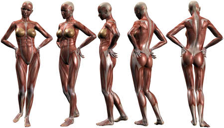 muscular male: Female Human Body Anatomy Stock Photo
