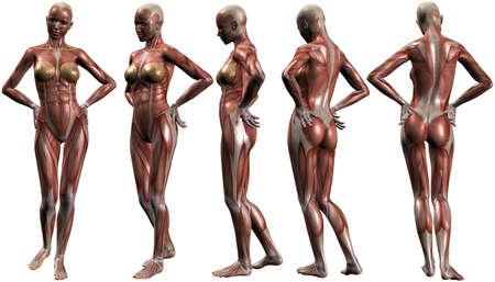 sapiens: Female Human Body Anatomy Stock Photo