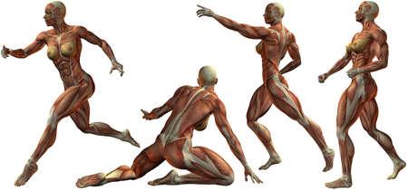 muscular anatomy: Female Human Bodybuilder Anatomy Stock Photo