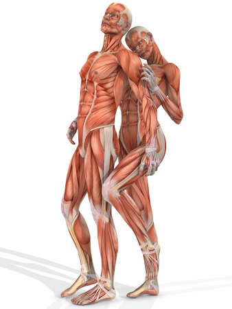 arm muscles: Female And Male Anatomic Body - Couple