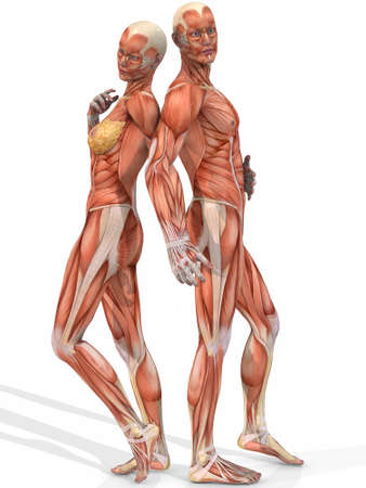 muscular male: Female And Male Anatomic Body - Couple