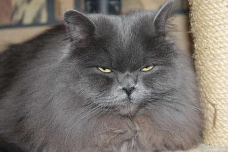 bawl: Cat of the sort British Short Hair