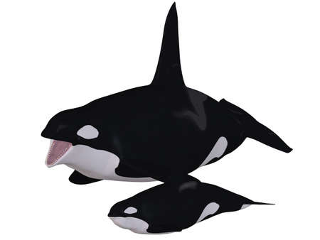 orcinus: Orca - Killer Whale With Calf