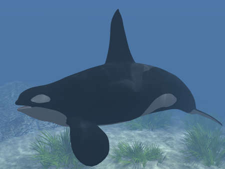 specie: Orca - Killer Whale