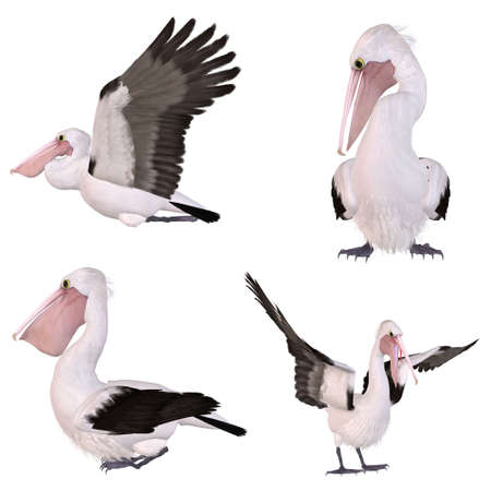 fisher animal: Australian Pelican