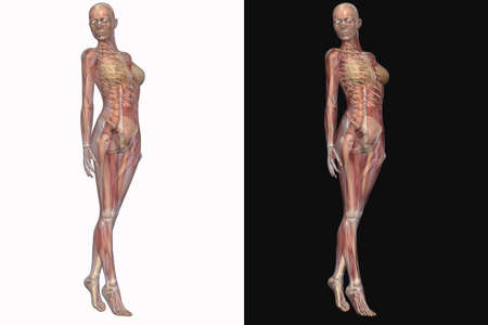 Female Skeleton With Transparent Muscles Stock Photo