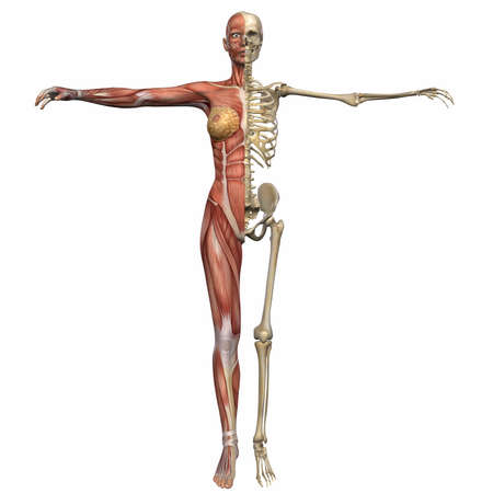 female muscle: Female Anatomy Body