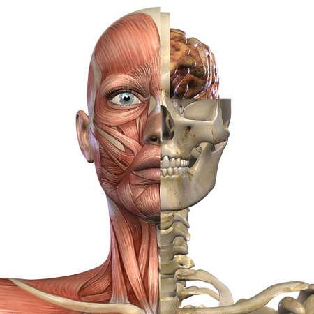 female muscle: Female Anatomy Body