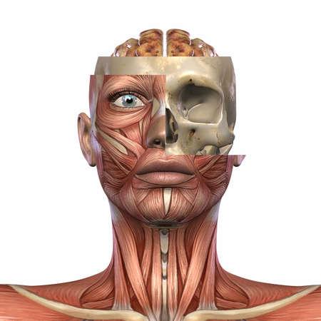 musculature: Female Anatomy Body