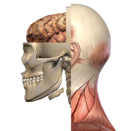 anatomy art: Female Anatomy Body