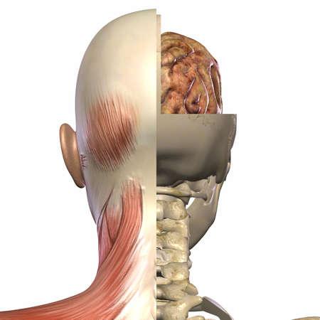 tendon: Female Anatomy Body