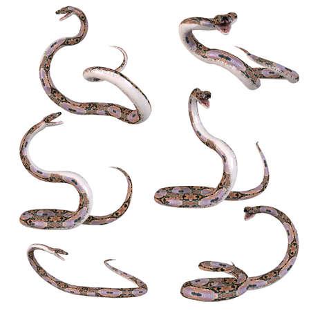 Snake-Retikulierter Python