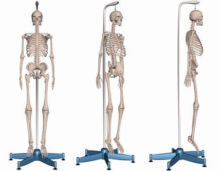 sapiens: Skeleton on Stand