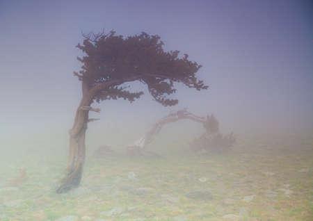 bristlecone: Foggy on Mt  Evans