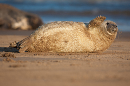 donna: Seal Puppy, Donna Nook, UK Stock Photo