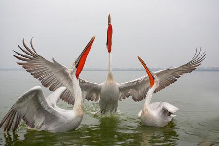 Dalmatian pelicans, Macedonia, Greece Banco de Imagens