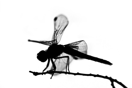 antenna dragonfly: dragonfly silhouette Stock Photo