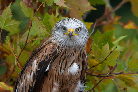 milvus: Red kite (Milvus milvus) is a medium-large bird of prey in the family Accipitridae in autumn colours Stock Photo