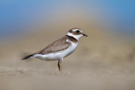 botas altas: chorlito común anillada en una playa