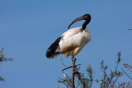 ciconiiformes: African sacred ibis, Threskiornis aethiopicus, with sky as background