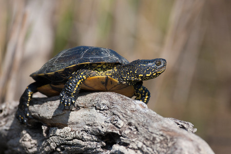 terrapin: European pond turtle ,Emys orbicularis, also called the European pond terrapin