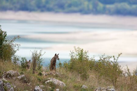wolf couple: couple of Apennine wolfs with Barrea lake on the background.  Abruzzo, Italy