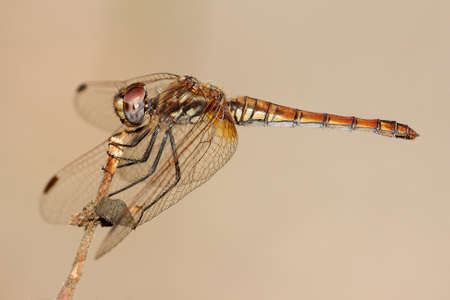 Trithemis annulata, known commonly as the violet dropwing