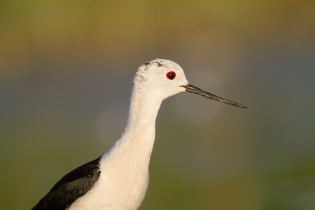 himantopus: black-winged stilt, himantopus himantopus, portrait