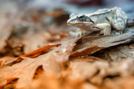 rana: La rana ágil (Rana dalmatina) es una rana en el género Rana en la familia de las ranas verdaderas