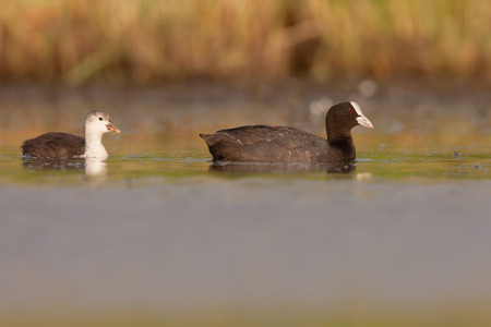 coot: coot with its chick in the pond