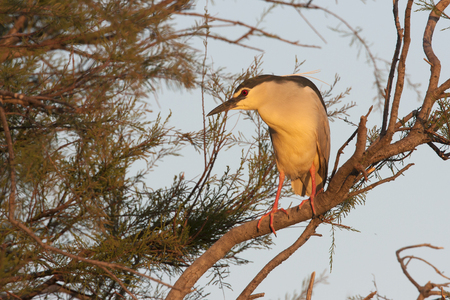 black feathered: black-crowned night heron ,Nycticorax nycticorax, on a tree Stock Photo
