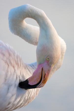 phoenicopterus: Greater Flamingo, Phoenicopterus  portait Stock Photo