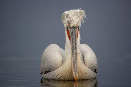 pelecanus: Dalmatian Pelican, Pelecanus crispus on a lake