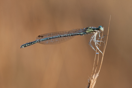 heavenly: Heavenly blue damselfly isolated on a yellow background