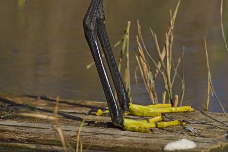 long feet: Long black legs and yellow feet closeup.