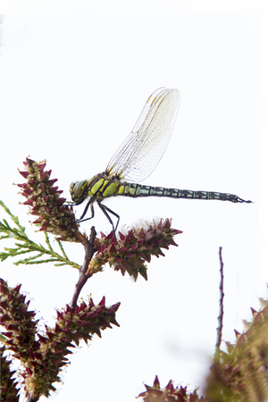 Dragonfly: Dragonfly on a plant with white background