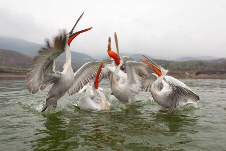 kerkini: Dalmatian pelicans, Kerkini Lake, Greece