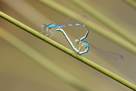 damselfly: blue damselfly mating act