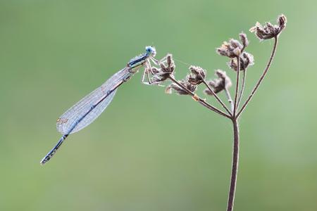 damselfly: blue damselfly on a dead flower in the summer