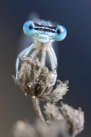 damselfly: blue damselfly eyes portrait on a dead flower Stock Photo