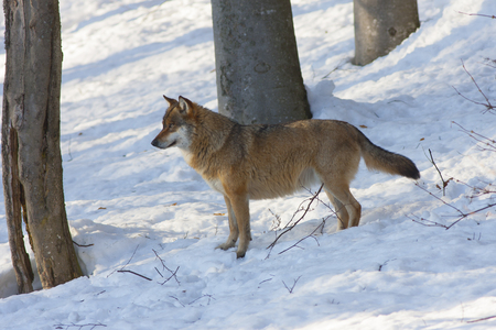 lupus: Eurasian wolf Canis lupus lupus or common wolf Stock Photo