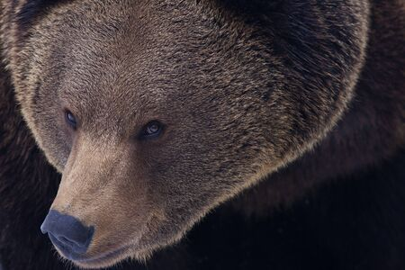 eurasian: Eurasian or european brown bear Stock Photo