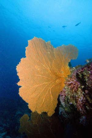 gorgonian: Gorgonian Seafan
