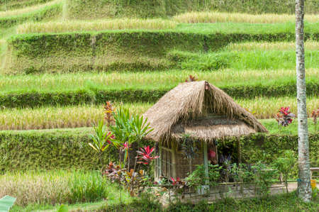 Green rice fields on Bali island  photo