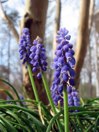 A close-up shot of grape hyacinth flowers in bloom.