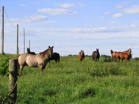 A large group of horses out in the pasture keeping an eye on things.