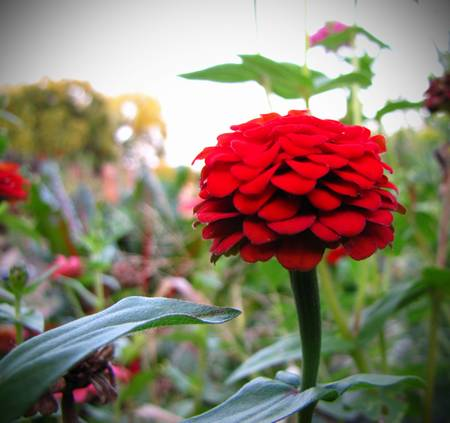 A red zinnia in a garden with a stark, otherworldly white background.
